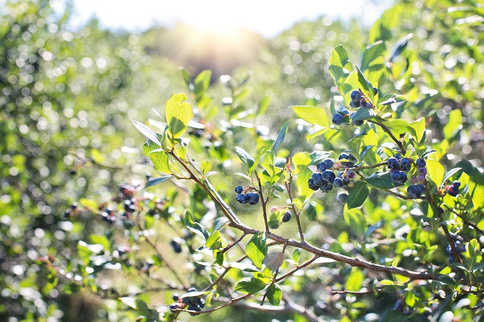 blueberries-1576403_960_720